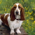 basset hound temperament