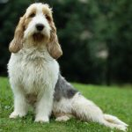 Is the French Basset Hound a Suitable Dog Breed for You?