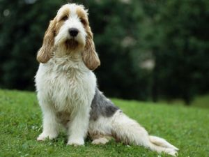french basset hound