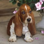 The Miniature Basset Hound